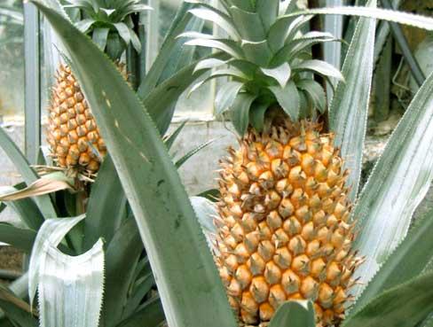 Выращивание-ананасов-в-домашних-условиях