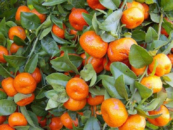 1350653805_kak-vyrastit-mandarin-v-domashnih-uslovijah-2