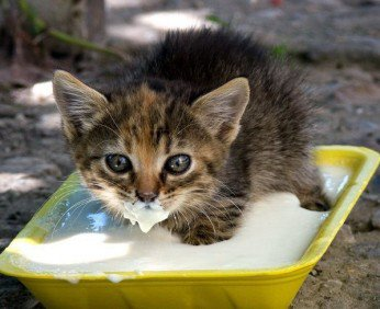kitten-food_big