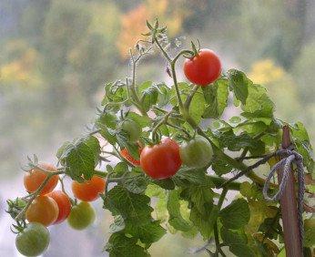pomidor1